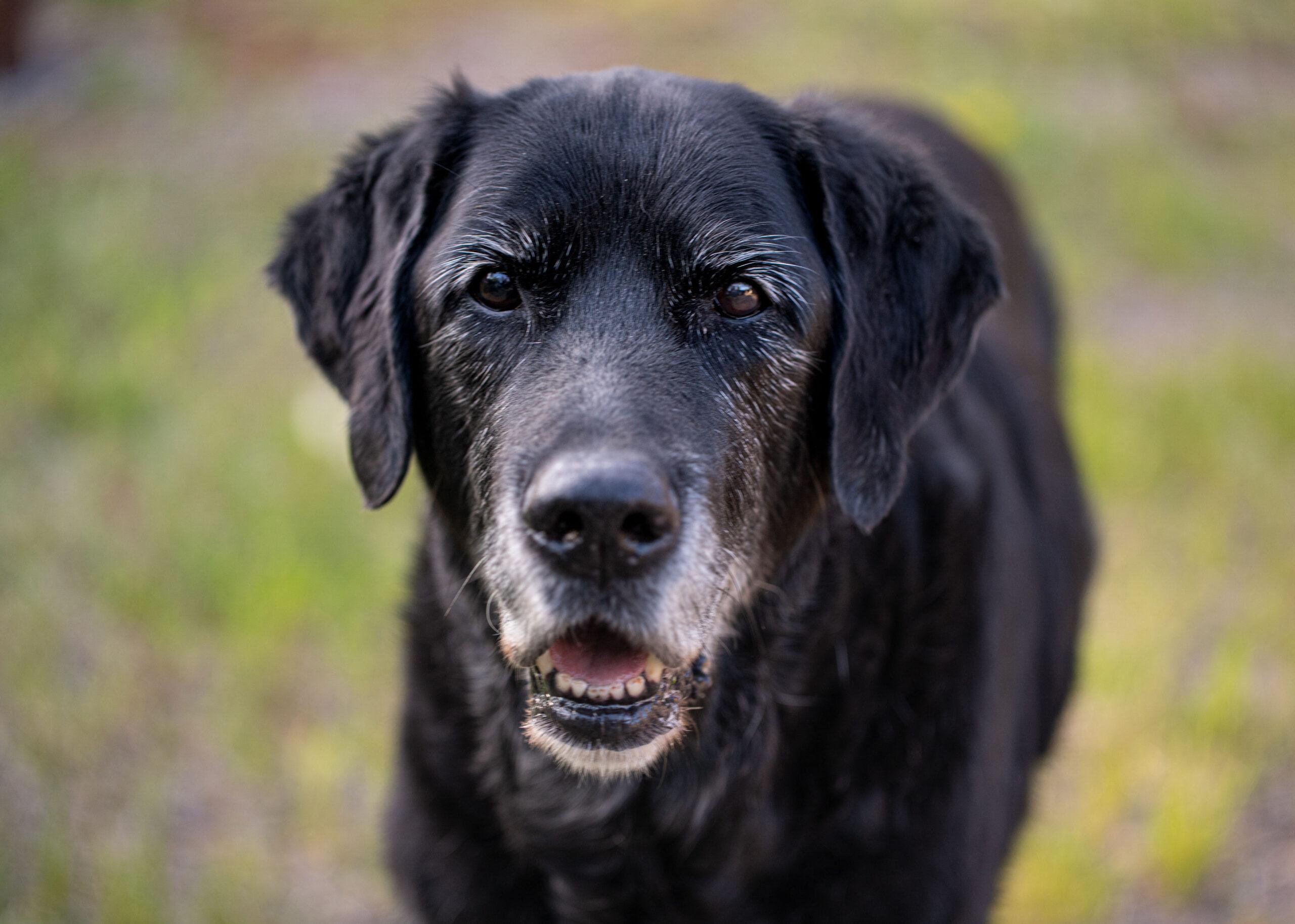 Koira, musta, kultaisen noutajan ja labbiksen risteytys,