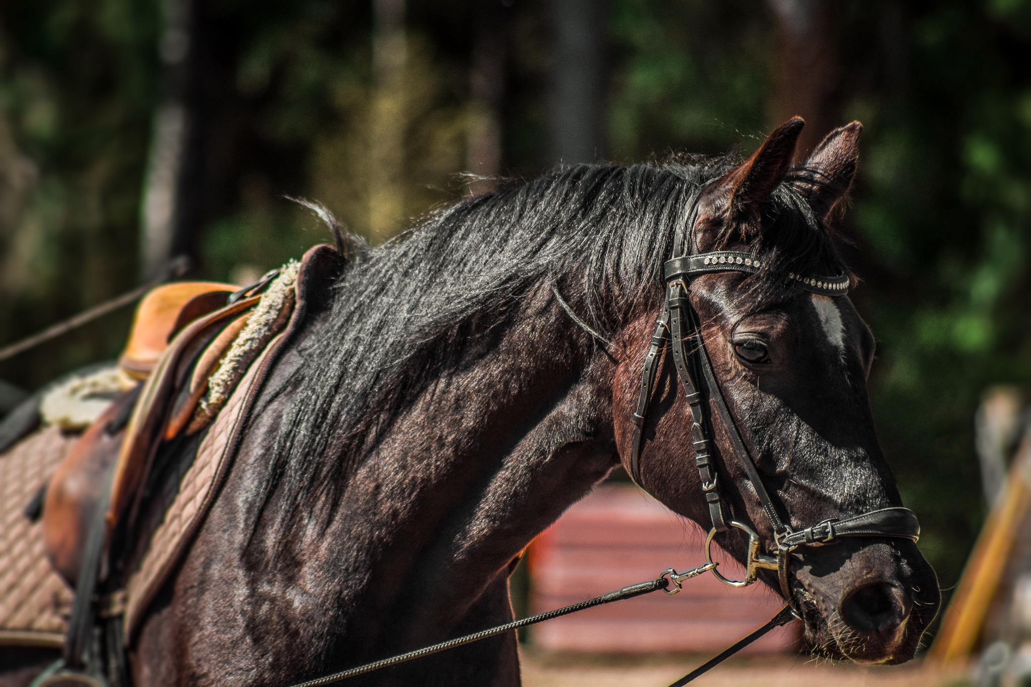 satuloitu hevonen sivulta kuvattuna