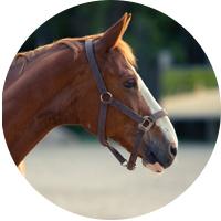 Hevonen, ympyrä, Frontsu, katsoo oikeaan
