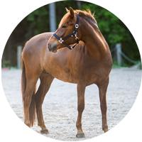 hevonen, ympyrä, selma